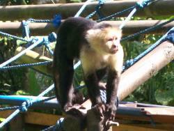 Monkey, Costa Rica