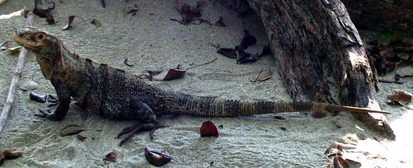 Iguana On The Beach, Costa Rica