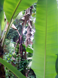 Green Leaves In The Jungle
