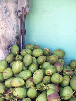 Coconuts, Parati, Brazil