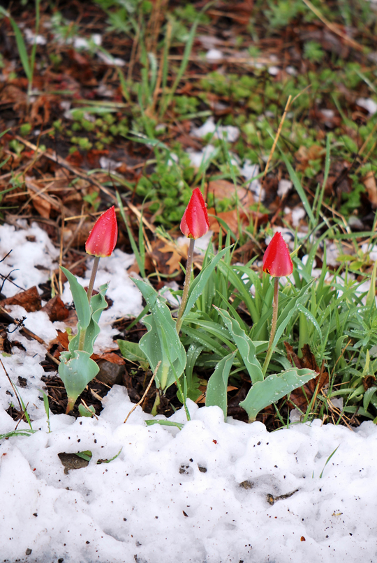 Three Frozen Tulips, Ottawa, April 2012