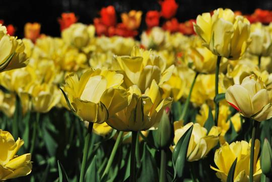 Ottawa Tulips Festival
