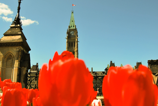 Red Tulips in Front of the Parliament