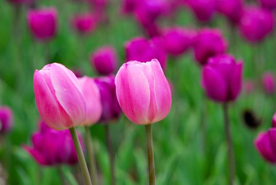 2013 Ottawa Tulips Festival