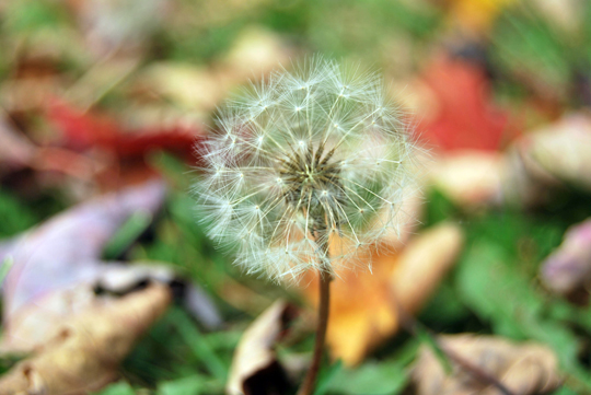 Dandelion and Fall Leaves