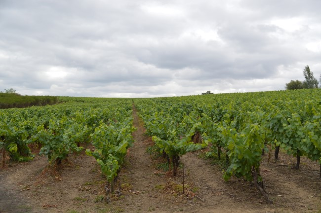 Vineyards in Saint Fiacre