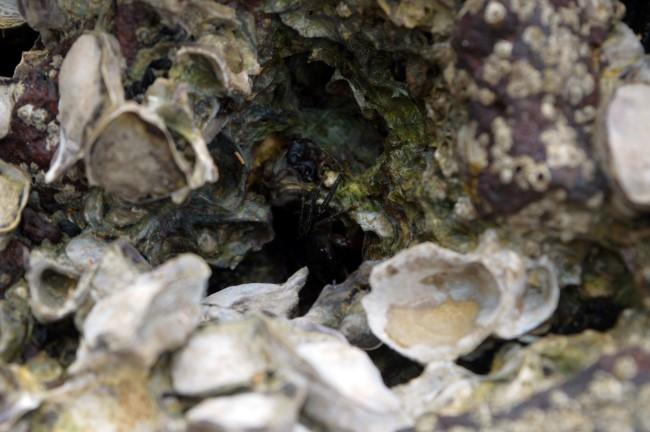 Crab hiding