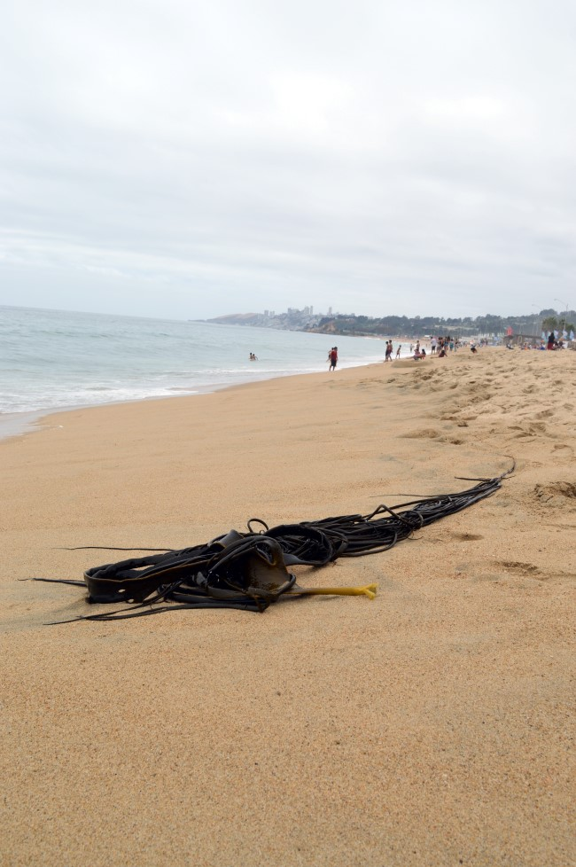 Giant seaweed on the beach in Viña del Mar