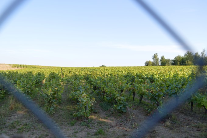 Vineyards in Saint-Fiacre-sur-Maine