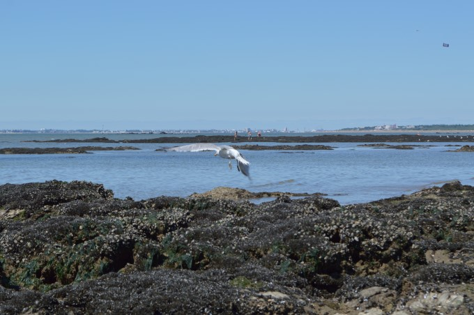 Seagull at low tide