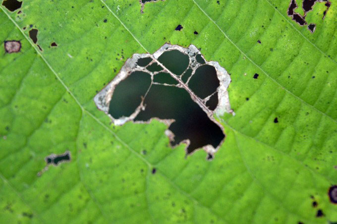 Hole in green leaf