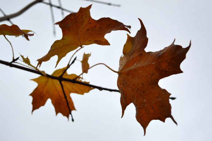 Leaves and grey sky