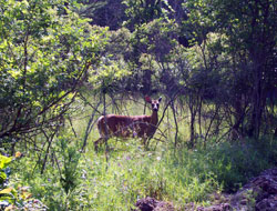 Deer Spotted In The Woods