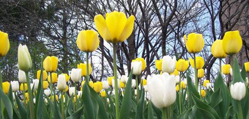 Ottawa's Tulips Festival