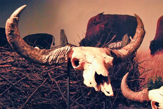 Hunting Buffalos