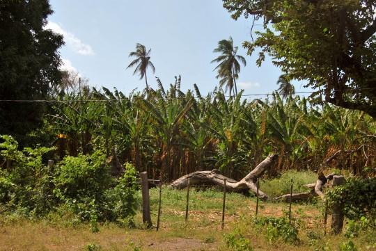 Plantain Plantations