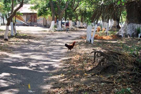 Just a Chicken...
