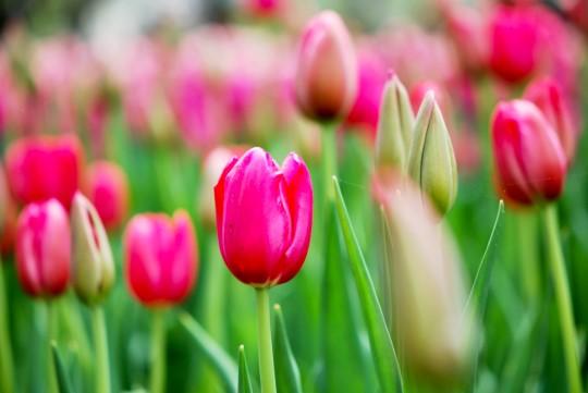 2014 Tulips Festival