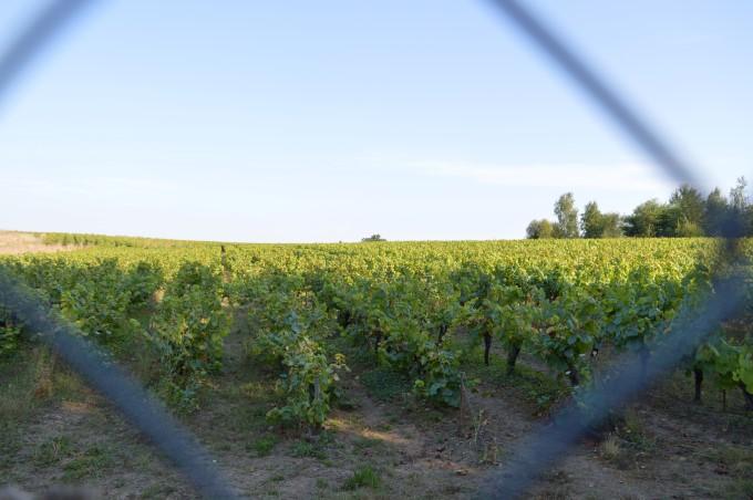 Vineyards in Saint-Fiacre-sur-Maine