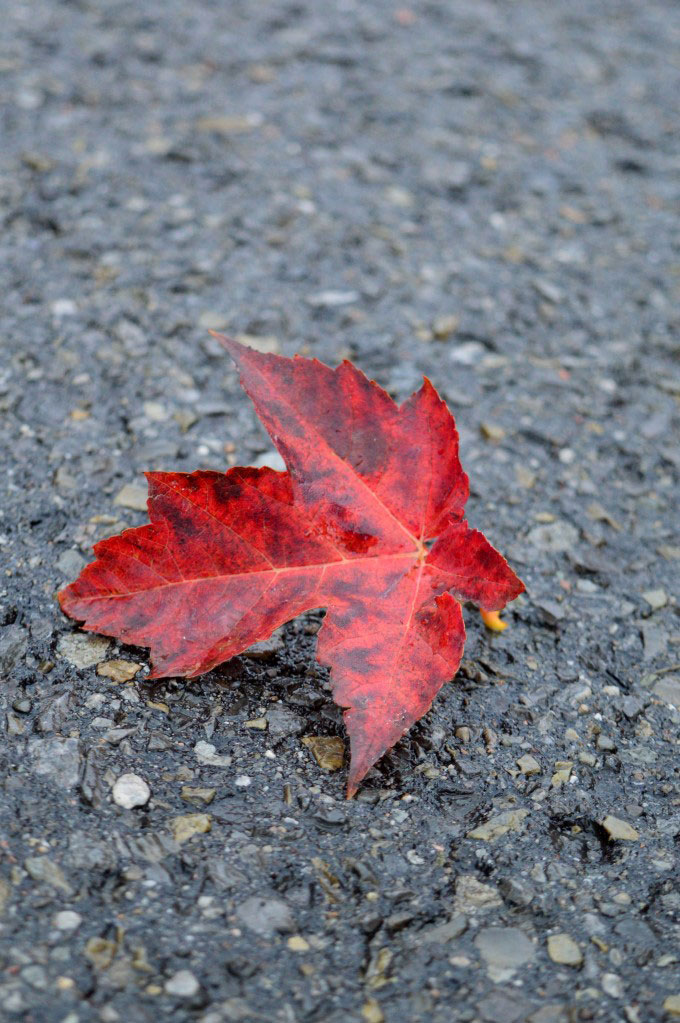 Wet red leaf on the road