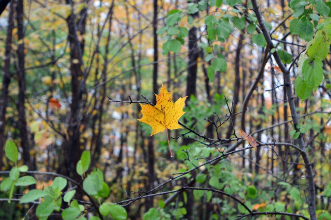 Single yellow leaf