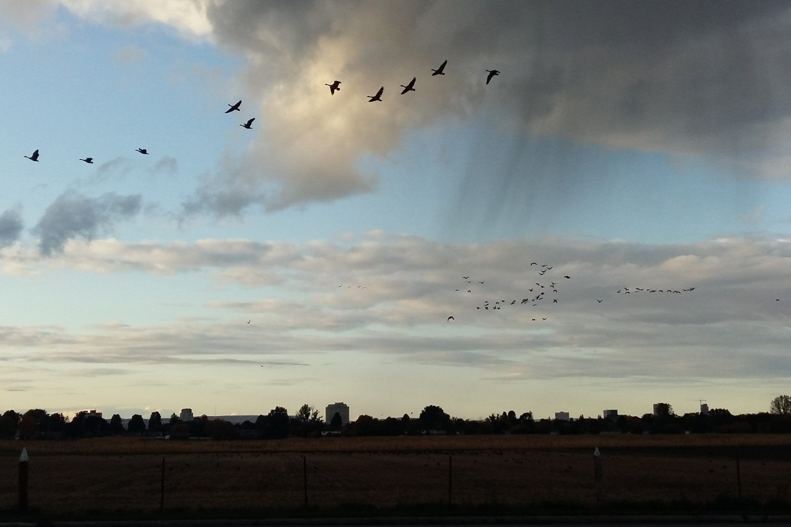Geese flying over the Experimental Farm